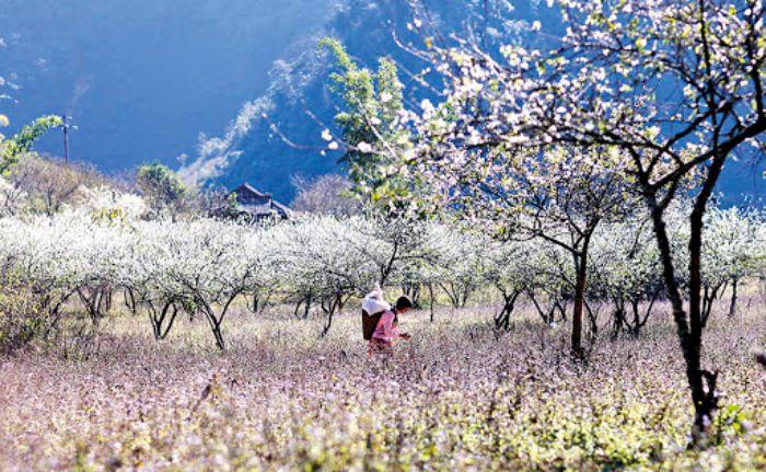 Đắm chìm trong sắc trắng mùa Hoa ban nở tại Mộc Châu
