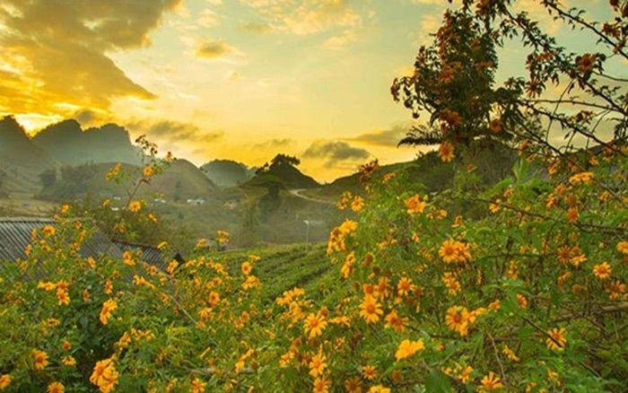 Mộc Châu Tháng 11 - ngập tràn sắc vàng hoa dã quỳ