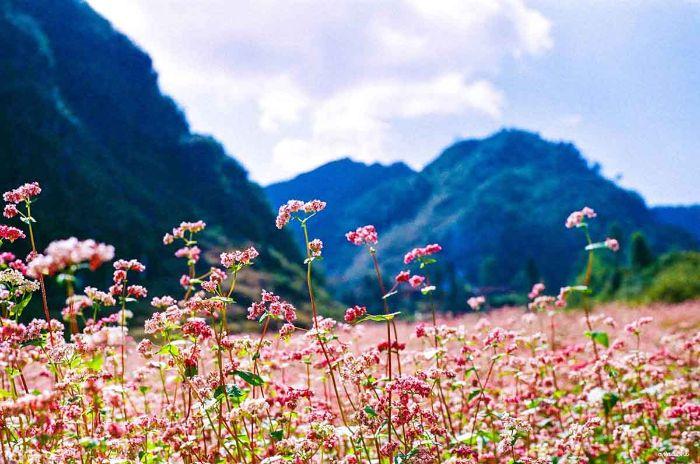 Tận hưởng khung cảnh ngọt ngào mùa hoa tam giác mạch tại Mộc Châu