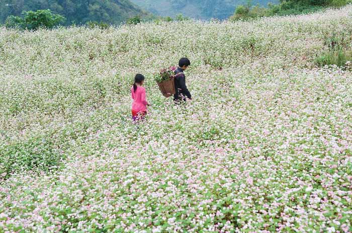 """Mùa hoa Tam giác mạch chính là """"đặc sản du lịch"""" tại Hà Giang"""