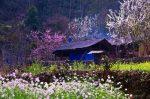 Mùa xuân đến mang theo những thung lũng hoa tại Hà Giang rực rỡ sắc màu
