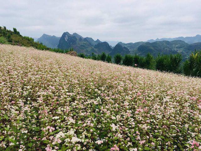 Cứ vào mỗi cuối tháng 10, vùng cao nguyên đá Hà Giang lại tràn ngập sắc tím của những bông hoa tím mang cái tên độc đáo