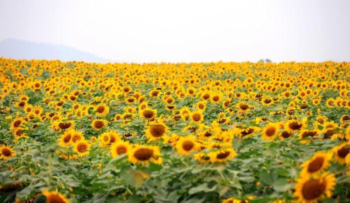 Đi dạo quanh vườn hoa hướng dương