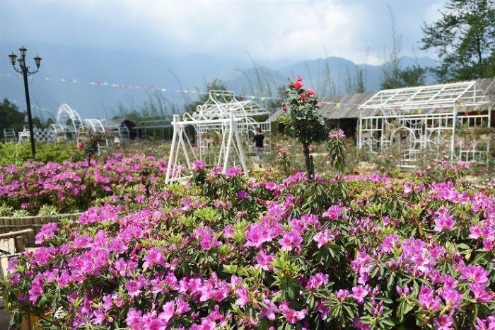 Bắt trọn vẻ đẹp hoa đỗ quyên Sapa