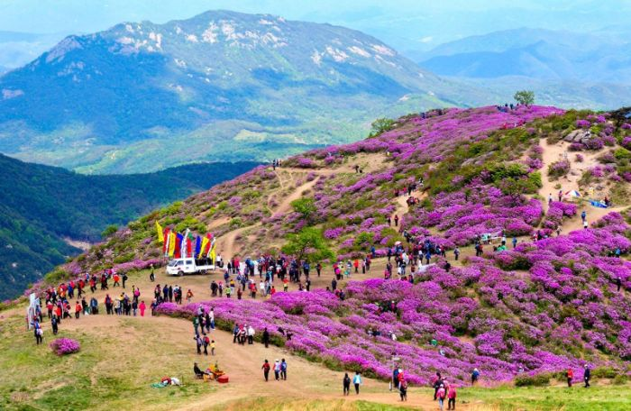 Hoa đỗ quyên nở rộ khi du lịch Sapa tháng 3