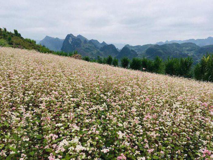 Khám phá rừng hoa tam giác mạch khi du lịch Sapa mùa hè
