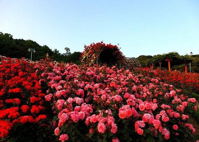 du lịch sapa tháng 2- ngắm rừng hoa đua nở