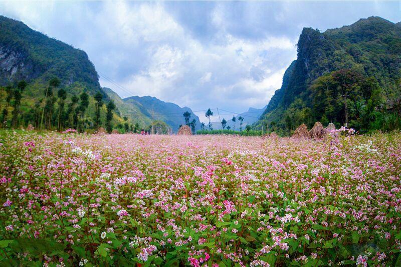 Cánh đồng hoa tam giác mạch ngút ngàn dưới thung lũng