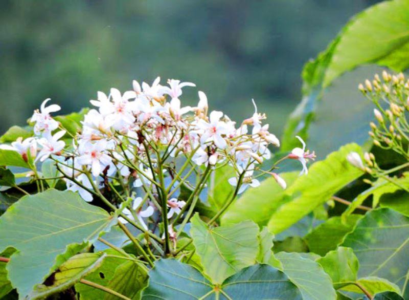Hoa trẩu tinh khôi báo hiệu mùa nước về